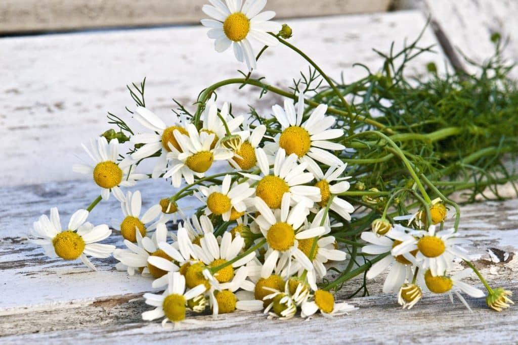 chamomile flowers for tea